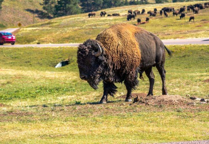 Custer State Park, Custer, South Dakota
